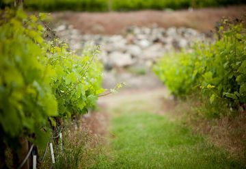 Inniskillin Okanagan Vineyards
